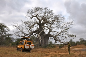 Jeep in front of a huge Baobab tree.