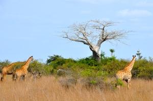 Giraffes and a Baobab tree.