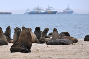 Seals in Namibia