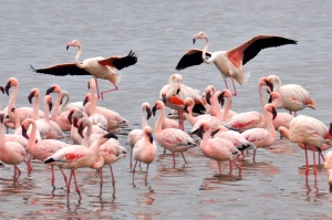 Flamingos Namibia