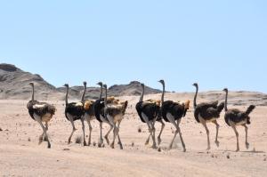 Ostriches Namib Desert